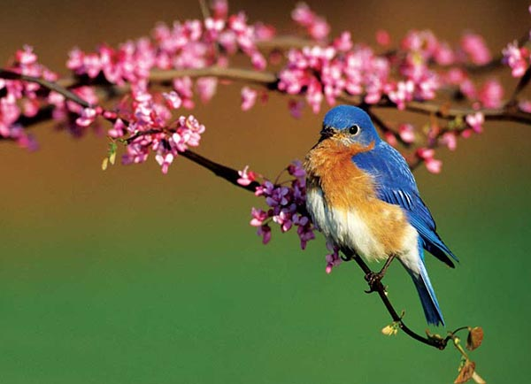 eastern-bluebird-photo-by-richard-day