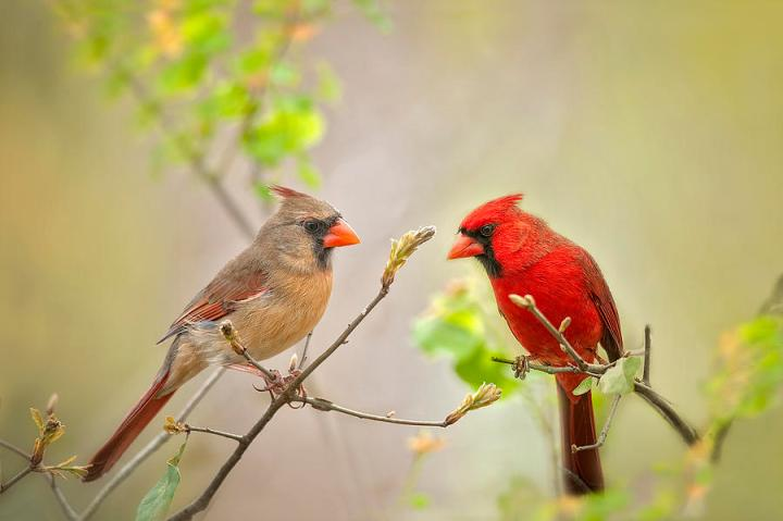 spring-cardinals-bonnie-barry